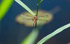 Libellen passen ihre Farbe der Umgebungstemperatur an: In sonnenreichen Regionen sind sie heller, in sonnenarmen dunkler. (Bild: Luciano Pau)