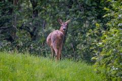 Das Reh, Wildtier im Appenzellerland. (Bild: Luciano Pau)