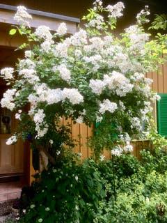 Die Bienenweide - eine vor 12 Jahren von selbst erschienene Wildrose ist zum grossen Rosenstock herangewachsen und erfüllt die Luft mit lieblicher Süsse. Dort tummeln sich Hunderte von Bienen. Fazit: Die Natur machen lassen. Sie weiss, was richtig ist.(Bild: DagmarWemmer)
