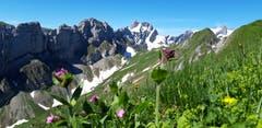 Bergblumen auf Marwees. (Bild: Klaus Businger)