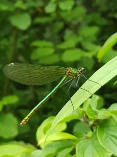 Hübsche Libelle an der Thur. (Bild: Reto Schlegel)