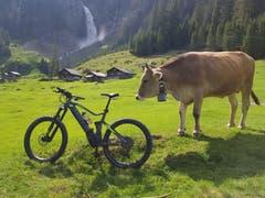 Eine Fahrt auf die Alp Äsch mit dem E-Bike: Daran hatte auch ein Rind Interesse. (Leserbild: Daniel Baumann aus Spiringen, 7. Juni 2019, Alp Äsch, Unterschächen)