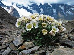 Gletscherhahnenfuss: typisch für Europas Höhen. (Bild: C. Nilsson/SLF)