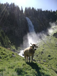 Eine Kuh kühlt sich in am Stäubifall in Äsch ab. (Bild: Kurt Christen, Äsch, 30. Juni 2019)
