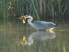 Fischreiher beim Frühstück im Bommerweiher. (Bild: Urs Fankhauser)