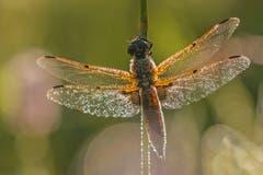 Eine Vierflecklibelle wärmt ihre Flügel auf. (Bild: Franziska Hörler)