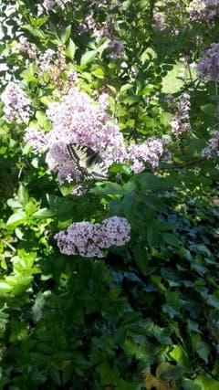 Ein Schwalbenschwanz-Schmetterling auf einem Fliederbusch. (Bild:Egon Federspiel)