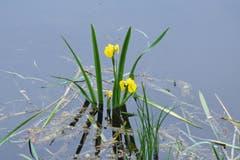 Majestätisch leuchtet die Wasserlilie im Teich. (Bild: Walter Schmidt)