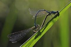 Sommergefühle der Libellen. (Bild: Irene Weibel)