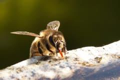 Eine durstige Biene. (Bild: Barbara Weber)