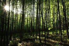 Wenn die Sonne die Blätter der Bäume leuchten lässt. (Bild: Irene Wanner, Altishofen, 1. Juli 2019)