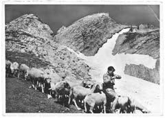 Schafe beim Säntisgipfel. (Bild: A. Eggenberger, Walzenhausen/Landesarchiv AI)