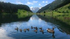 Auch die Entenfamilie geniesst das kühle Nass! (Peter Bumbacher, Golzenersee, 1. Juli 2019)