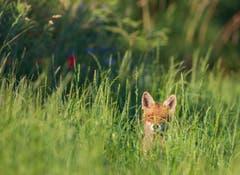 Ein Fuchs geniesst die Abendsonne bei Hohentannen. (Bild: Stefan Jung)