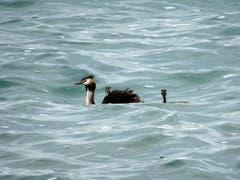 Haubentaucher mit Nachwuchs in den etwas stürmischen Wellen des Bodensees. (Bild: Doris Sieber)