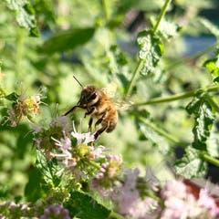 Fleissige Biene bei der Arbeit. (Bild: Sara Spitzli)