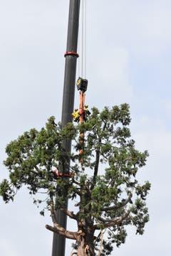 Die Arbeiter werden mit den Bändern den Baum sichern.