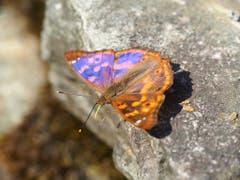 Den Schmetterlingen geht es gut am Zürcher Uetliberg: Mit dem Kleinen Schillerfalter hat sich sogar eine neue Art verbreitet. (Bild: Grün Stadt Zürich)