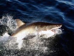 Der Weisse Hai gehört zu den meist bedrohten Hai-Arten im Mittelmeer. (Bild: KEYSTONE/EPA/FRANCK ROBICHON)