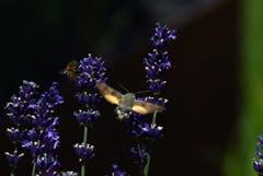 Begehrter Lavendel: Wenn keine Schmetterlinge, dann sind es Bienen oder Falter! (Bild: Walter Schmidt)