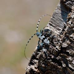 Der sehr seltene Alpenbockkäfer, auch Smaragd genannt. Der wohl schönste und grösste heimische Käfer. (Bild: Franz Häusler)