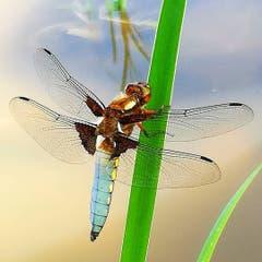 Warten auf Beute - Plattbauch Libelle auf ihrem Hochsitz. (Bild: Karin Meuli)