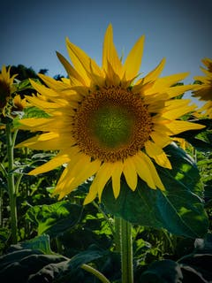 Die Sonnenblumensaison beginnt..... (Bild: Stephan Lendi)