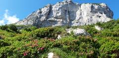 Alpenrosen am Fuss einer Felsburg. (Bild: Klaus Businger)