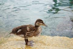 Diese mutige, junge Stockente, welche Teil einer sechsköpfigen Entenfamilie ist, hat sich hier in Bauen am See direkt vor dem Fotograf für ein Bild in Pose geworfen. (Bild: Thomas Gisler, Bauen, 6. Juli 2019)
