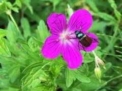 Ein flotter Käfer...(Bild: Toni Sieber)