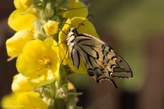 Papilion Machaon ruht sich auf einer Königskerze aus. (Bild: Priska Ziswiler-Heller, Wauwil, 14. Juli 2019)