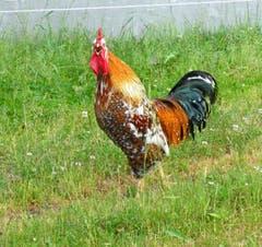 Ein glücklicher Hahn, der krähen kann, wann er will auf dem Glaubenberg. (Bild: Walter Buholzer, 12. Juli 2019)