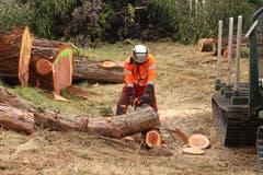Für Interessenten werden Teile des Mammutbaums in Scheiben geschnitten. Bild: yal