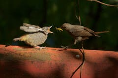 Ein Hausrotschwanz füttert die Jungmannschaft. (Bild:Hans Aeschlimann)