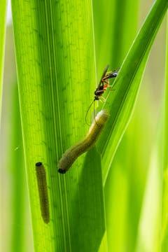 Bahnt sich da ein Drama an? Nein, die kleine Raupe Nimmersatt (Iris-Blattwespenlarve) wird vom Insekt lediglich beschnuppert und dann verschmäht. (Bild: Franz Häusler)