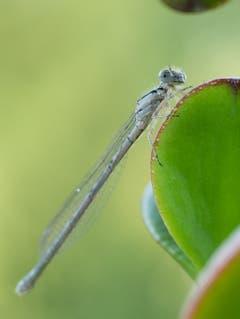 Eine zufrieden lächelnde Libelle in Uttwil. (Bild: Dani Rüede)