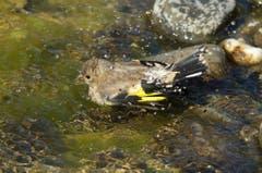 Junger Distelfink nimmt ein erfrischendes Bad. (Bild: Hans Aeschlimann)