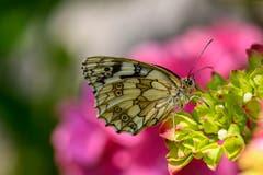 Ein Schmetterling. (Bild: Franz Keller, St. Erhard, 18. Juli 2019)