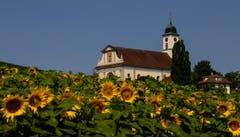 Sieht beinahe so aus, als ob die Kirche von Knutwil im Sonnenblumenfeld steht. (Bild: André Egli, Knutwil, 18. Juli 2019)