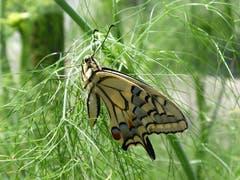 Wunder der Natur: Schwalbenschwanz am Teefenchel. (Bild: Bruno Alder)