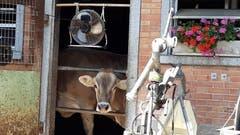 Kuh unter dem Kuhstall-Ventilator. (Bild: Doris Sieber)