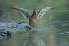 Eine Stockente mit Flügelspanne. (Bild: Hans Aeschlimann)