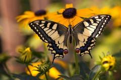 Es ist ein Mädchen... frisch geschlüpfter Schwalbenschwanz auf der Sommerblume namens Sonnenhut. (Bild: Priska Ziswiler-Heller, Ettiswil, 19. Juli 2019)