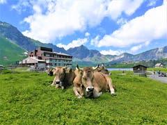 Die Kühe geniessen dösend das Bergwetter. (Bild: Urs Gutfleisch, Melchsee-Frutt, 19. Juli 2019)