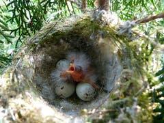 Dieser frisch geschlüpfte Distelfink ruft wohl «Mami, wo bist du?». (Bild: Josef Lustenberger, Wolhusen, 18. Juli 2019)