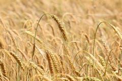 Mir scheint als daure es nicht mehr lange, bis das Getreide geerntet wird. (bild: Irene Wanner, Egolzwil, 2. Juli 2019)