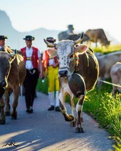 Bei der Alpauffahrt Sellamatt. (Bild: Patrick Fässler)