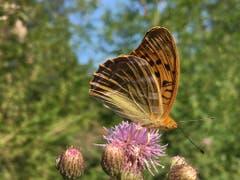 Der Kaisermantel auf einer Blüte. (Bild: Toni Sieber)