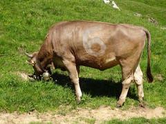 Die Zahlen-Kuh, gesehen auf der Meglisalp. (Bild: Kathrin Heussi)