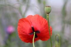 Die Mohnblume fasziniert mit einer ungewöhnlichen Kombination von kräftigem rot und zarter Gestalt (Bild: Xaver Husmann, Rain, 21. Juli 2019)